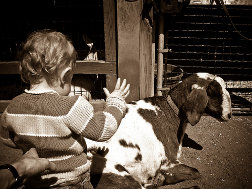 toddler petting goat